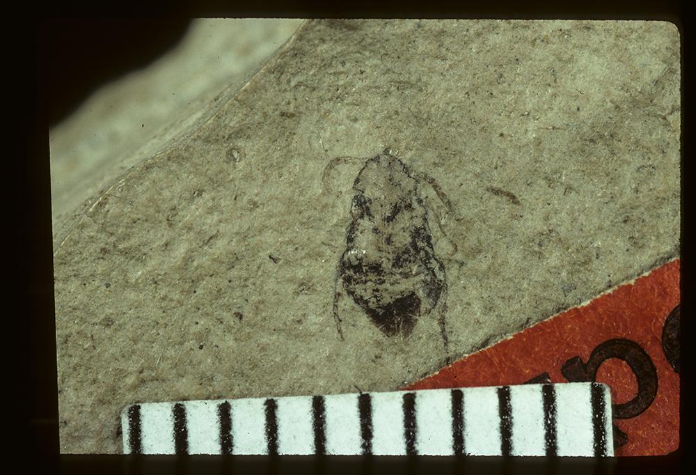 Image of <i>Bruchus aboriginalis</i> Wickham 1914