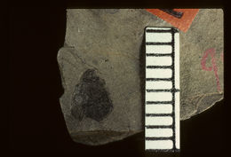 Image of <i>Protacnaeus tenuicornis</i> Wickham 1914