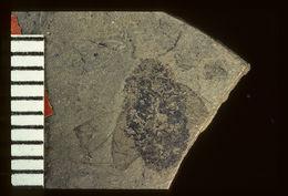 Image of <i>Miocyphon punctulatus</i> Wickham 1914