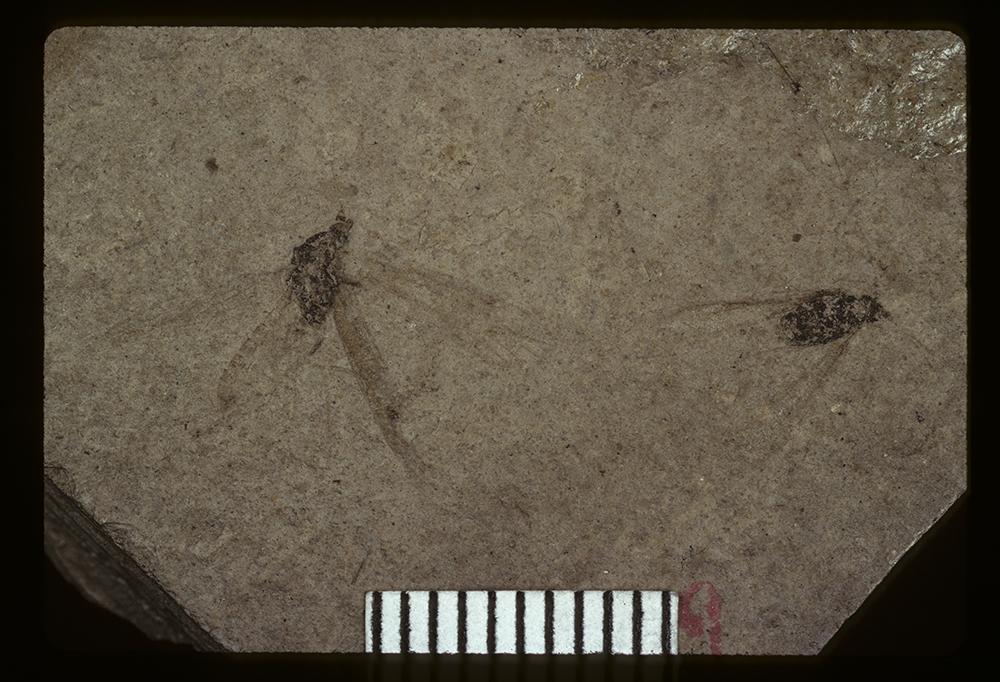 Image of <i>Polycentropus exesus</i> Scudder 1890