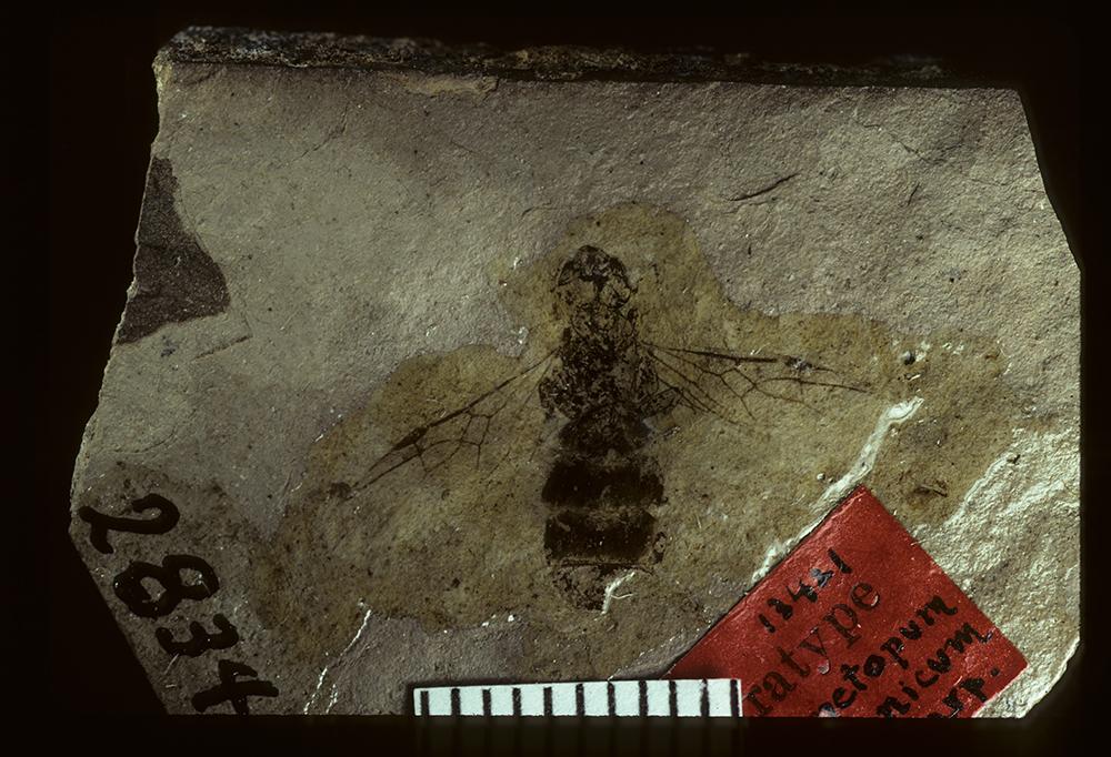 Image of <i>Liometopum miocenicum</i> Carpenter 1930