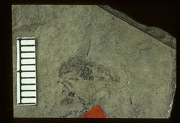Image of Metoecus