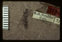 Image of <i>Litobrochus externatus</i> Scudder 1890