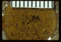 Image of <i>Procymus cockerelli</i> Usinger & R. L. 1940
