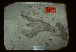 Image of <i>Taphacris reliquata</i> Scudder & S. H. 1890