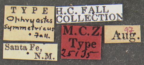 Image of <i>Ophryastes symmetricus</i> Fall 1907