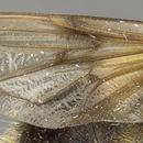 Image of <i>Volucella bombylans lateralis</i>
