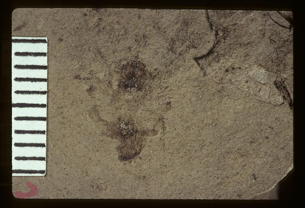 Image of <i>Lachnopus recuperatus</i> Scudder 1893