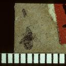 Image of <i>Linnaea carcerata</i> Scudder & S. H. 1890