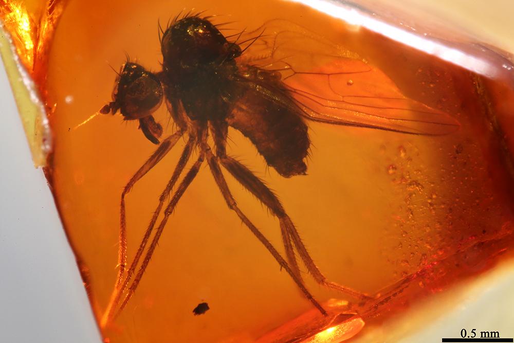 Image of <i>Apalocnemis canadambris</i> Grimaldi & Cumming 1999