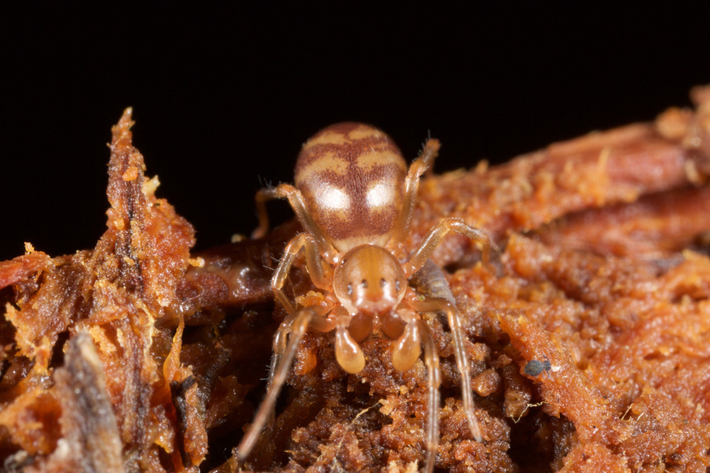 Image of mecysmaucheniid spiders