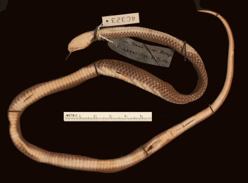 Image of Tana Delta Smooth Snake