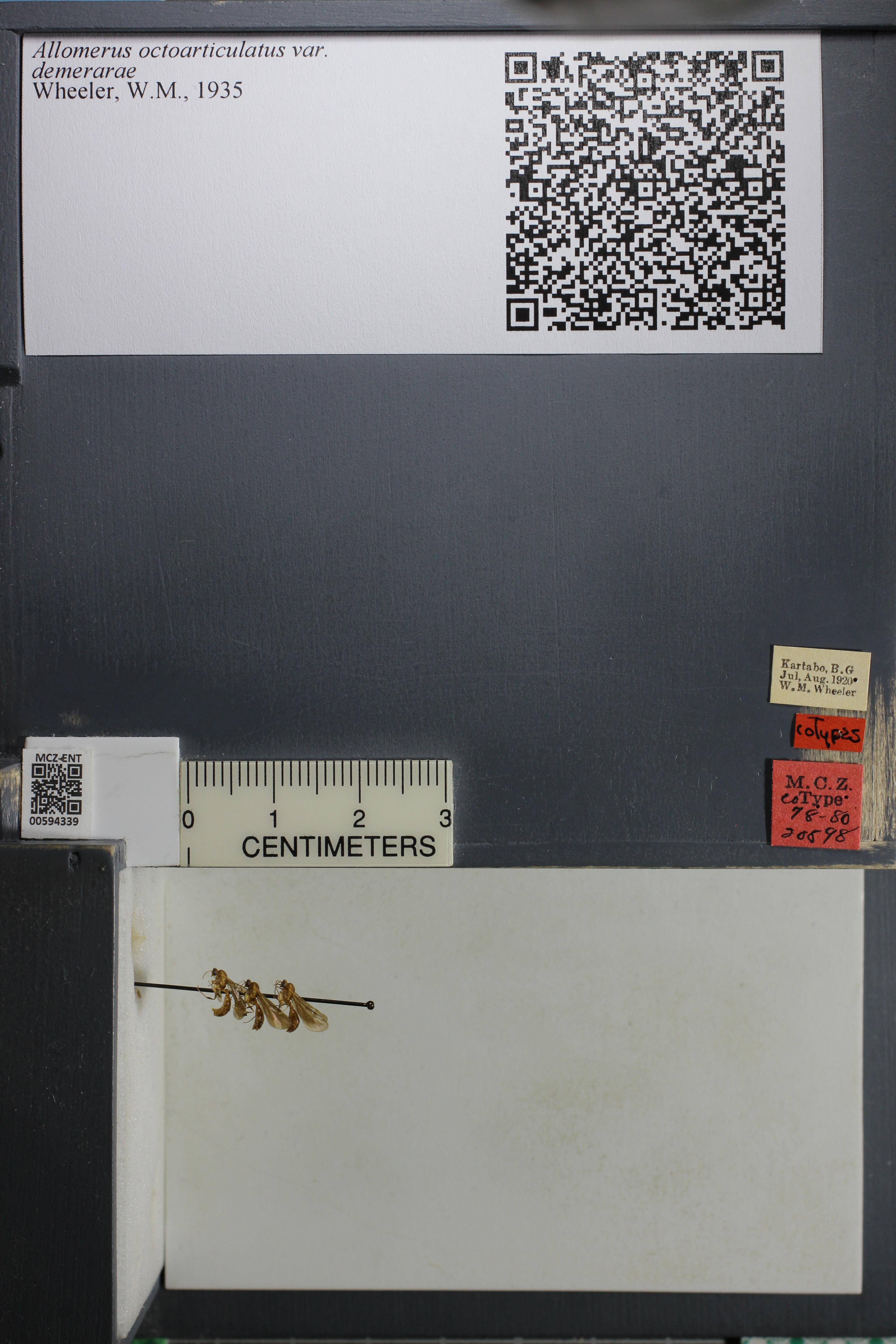 Image of <i>Allomerus octoarticulatus</i> Mayr 1878
