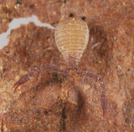 Image of <i>Larca granulata</i> (Banks 1891)