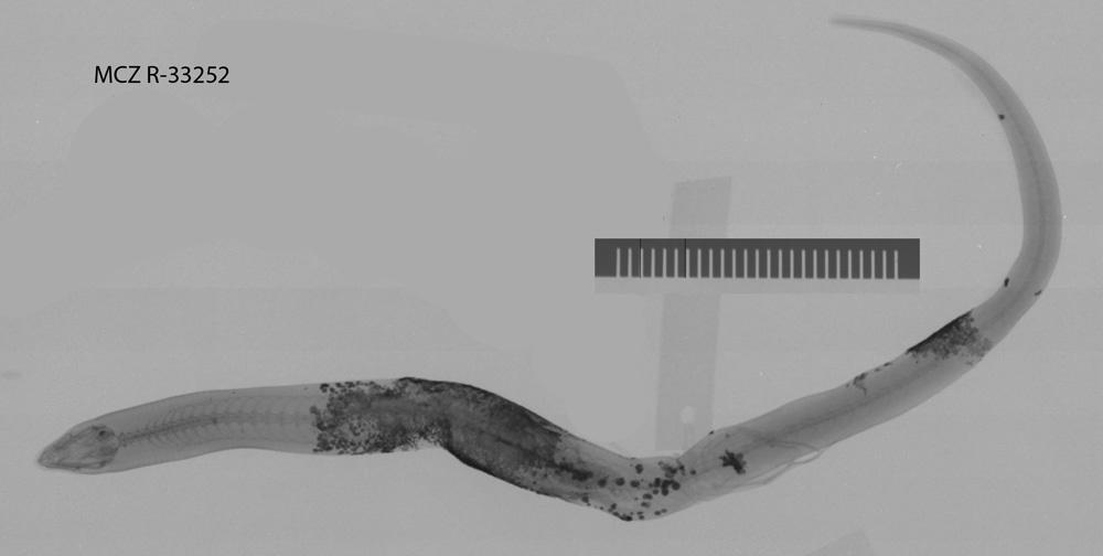 Image of Inland Broad-blazed Slider