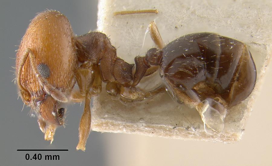 Image of <i>Pheidole soritis</i> Wheeler