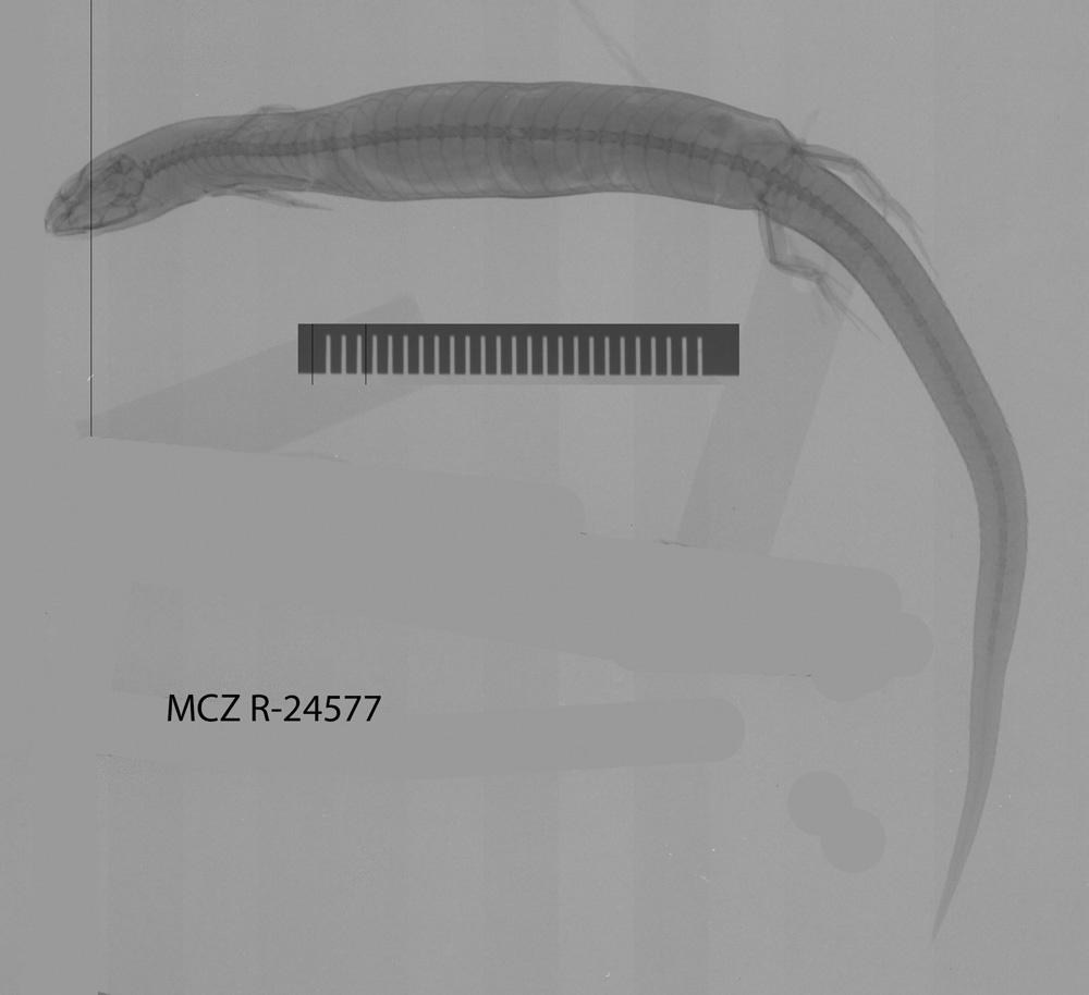 Image of <i>Lerista microtis</i> (Gray 1845)