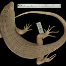 Image of Griffin's Keel-scaled Tree Skink