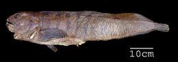 Image of <i>Anarrhichas vomerinus</i>