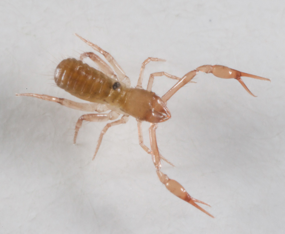 Image of Pseudoscorpion
