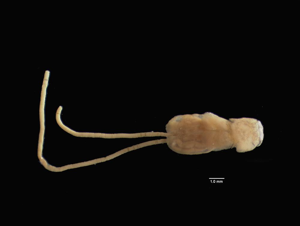 Image of Pandaridae