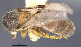 Image of <i>Aenictus latiscapus fumatus</i> Wheeler 1927