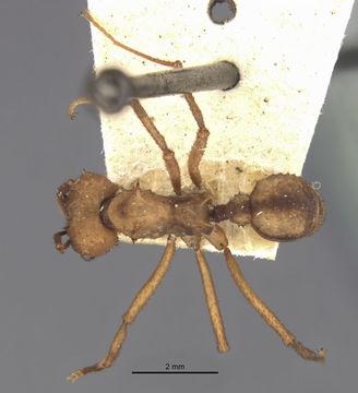 Image of <i>Acromyrmex aspersus</i> (Smith 1858)