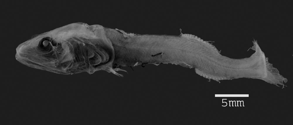 Image of <i>Leptochilichthys agassizii</i> Garman 1899