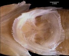 Image of <i>Sicyases petersii</i>