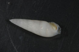 Image of Eulimidae