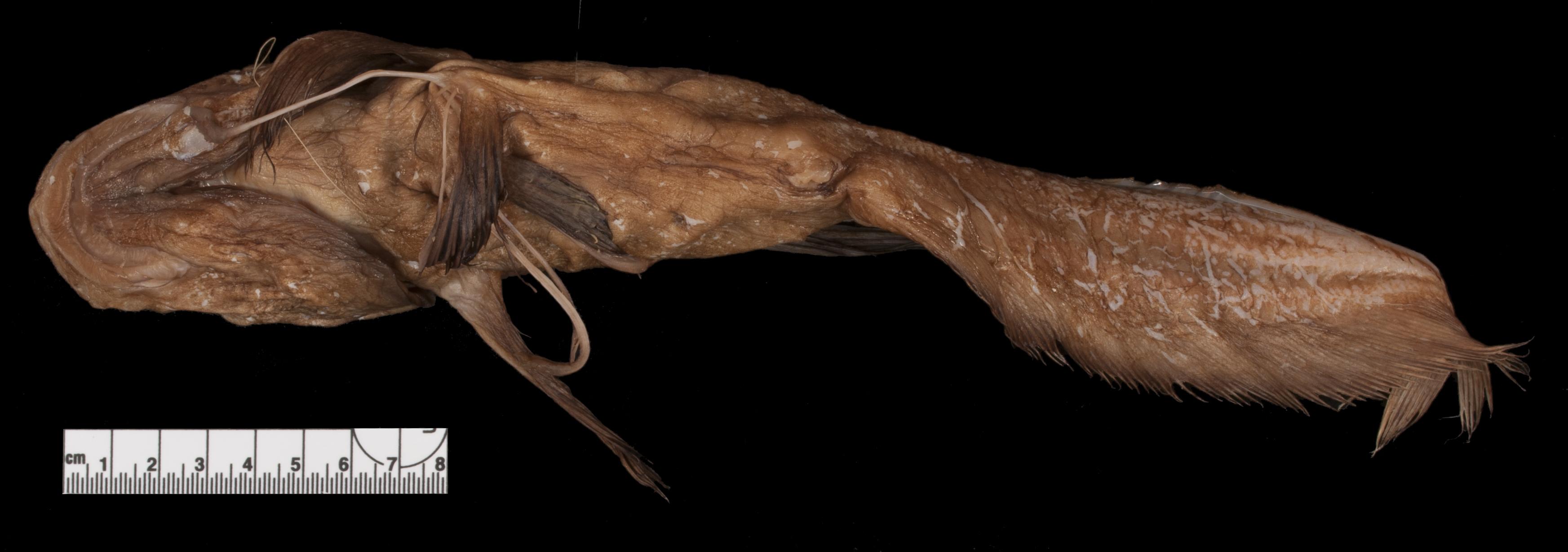 Image of <i>Guentherus altivelis</i>