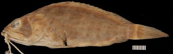 Image of duskytail grouper