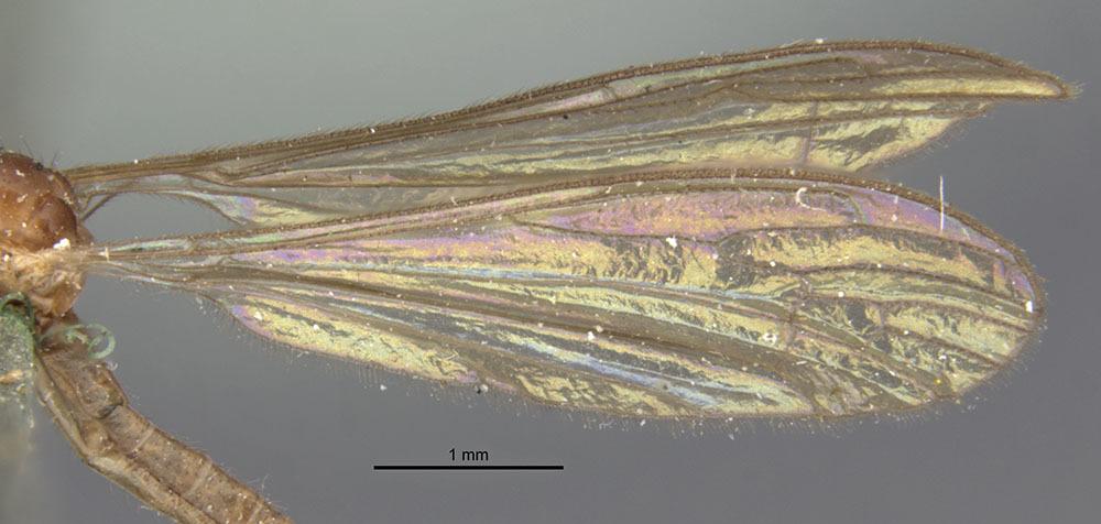 Image of <i>Limonia globithorax</i> (Osten Sacken 1969)