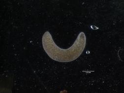 Image of <i>Hydrolimax grisea</i> Haldeman 1843