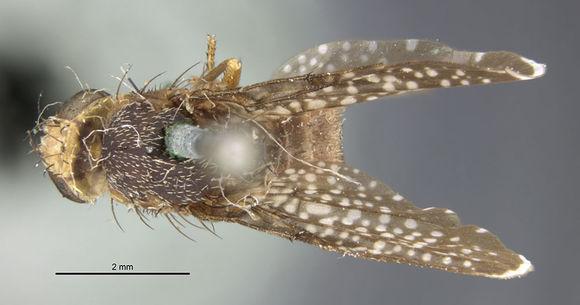 Image of <i>Eutreta simplex</i> Thomas 1914