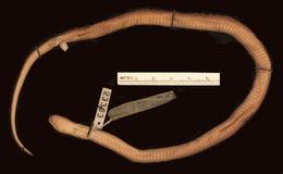 Image of Black Centipede Eater