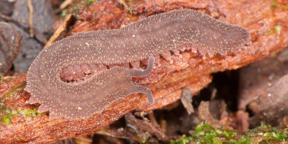 Image of Epiperipatus