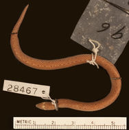 Image of Günther's Rough-sided Snake
