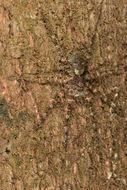 Image of <i>Gephyroctenus philodromoides</i> Mello-Leitão 1936