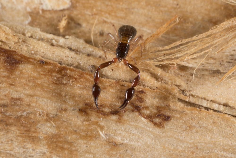 Image of Pachyolpium