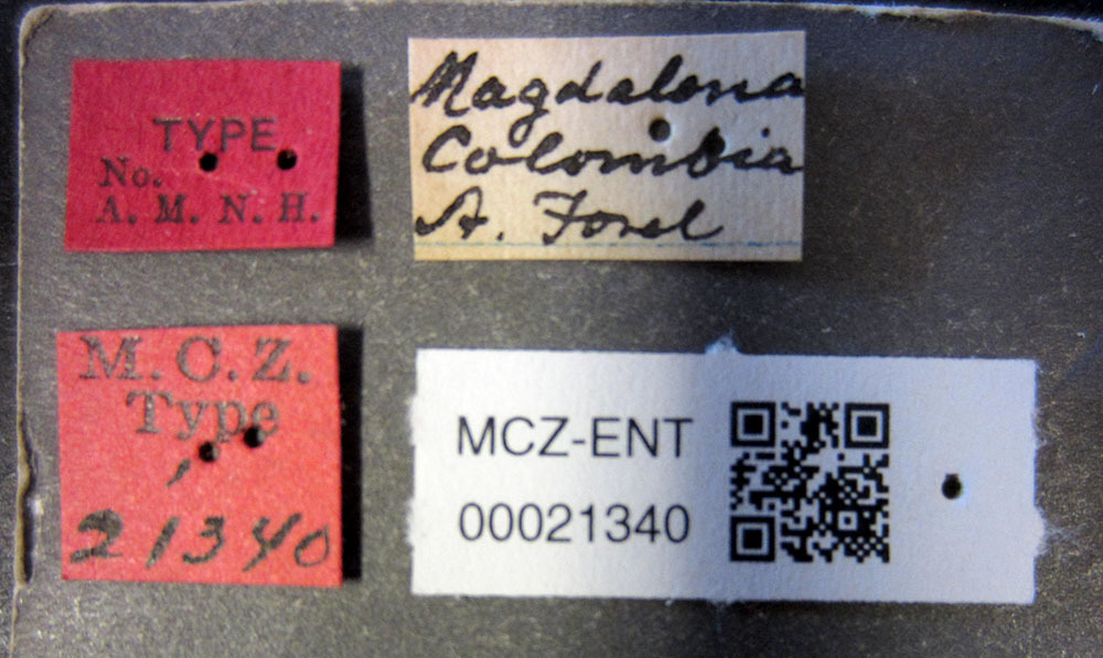 Image of <i>Azteca polymorpha</i> Forel 1899