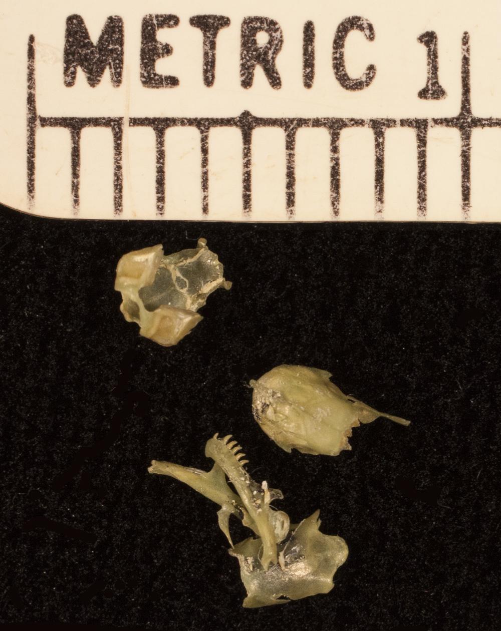 Image of <i>Dibamus novaeguineae</i> Duméril & Bibron 1839