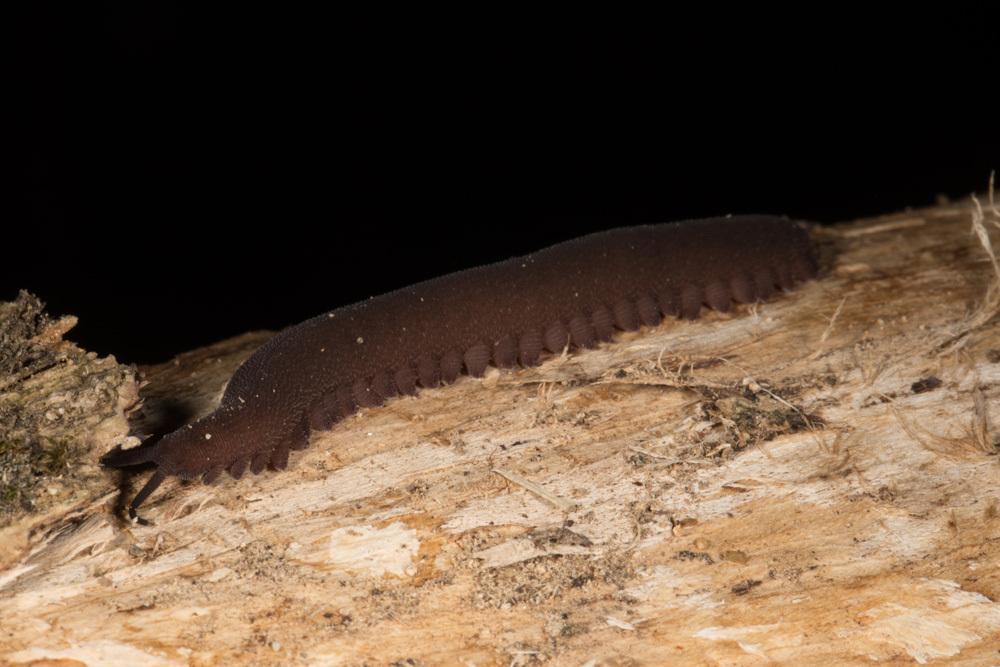 Image of <i>Epiperipatus broadwayi</i> (Clark 1913)