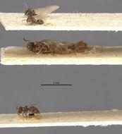 Image of <i>Brachymyrmex brevicornis</i> Emery 1906