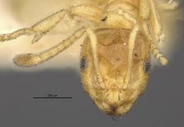 Image of <i>Brachymyrmex depilis</i> Emery 1893