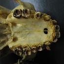 Image of <i>Hylobates lar mulleri</i>