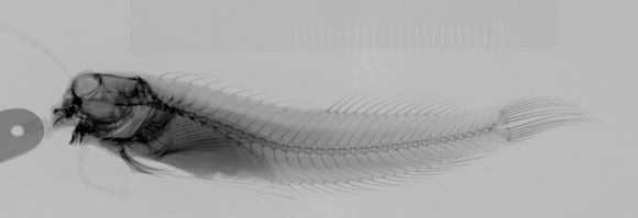 Image of <i>Entomacrodus niuafoouensis</i> (Fowler 1932)