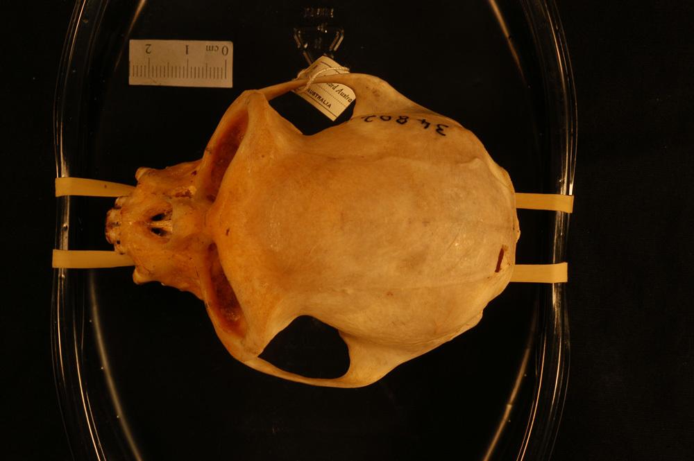 Image of <i>Presbytis vetulus</i> ssp. <i>nestor</i>