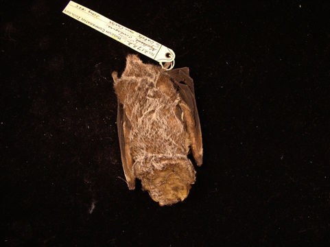 Image of Hoary bat