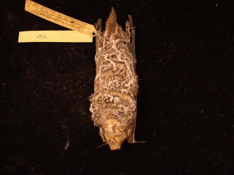 Image of Hoary bat